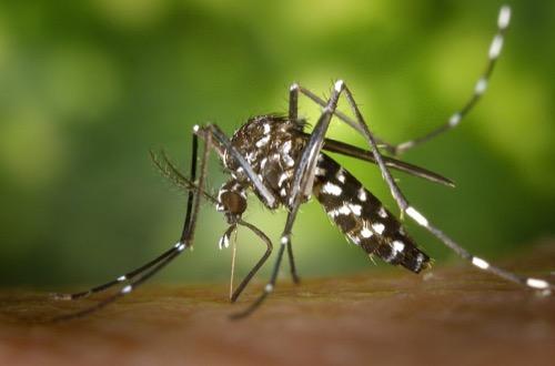 ネッタイシマカ Aedes aegypti